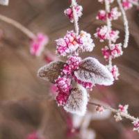 Sage Moore: Dérvirágok