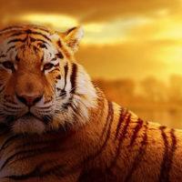 Nyírő Szabina: Tigris